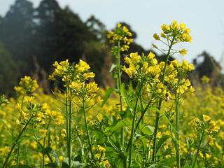 0121菜の花とミツバチ02.jpg