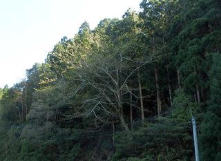 0226オナガカエデ新緑3892.jpg