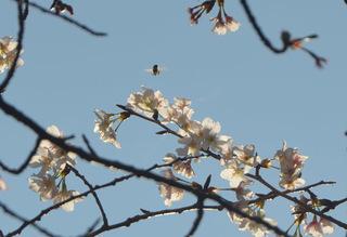 0226桜とミツバチ_0956.jpg