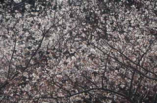0226桜_0935.jpg