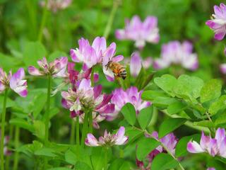 0304レンゲとミツバチ.jpg