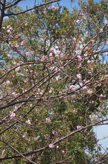 1024狂い咲き桜_0183.jpg