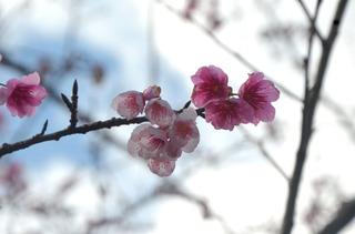 0116寒緋桜_0591.jpg