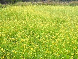 01189菜の花5759.jpg