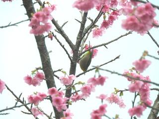 0118寒緋桜5753.jpg
