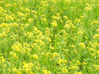 0118菜の花5758.jpg