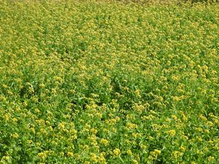 0121菜の花とミツバチ.jpg