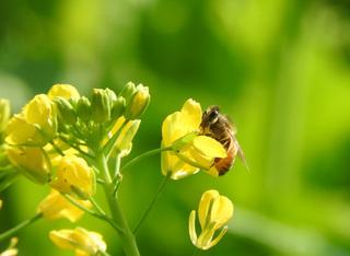 0121菜の花とミツバチ03.jpg