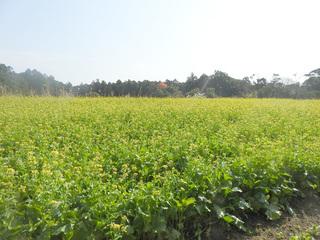 0121菜の花とミツバチ04.jpg