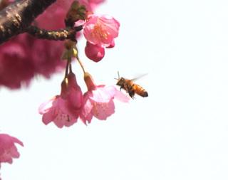 0126寒緋桜ミツバチ2187.jpg