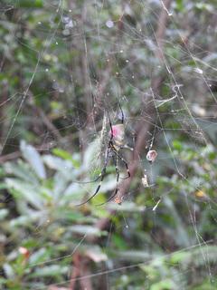 01女郎蜘蛛のオスとメス0672.jpg