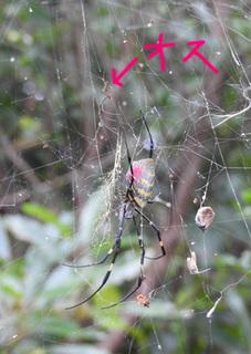 01女郎蜘蛛のオスとメス0672b.jpg