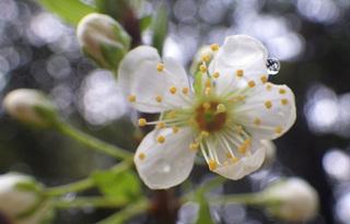 0207スモモの花03.jpg