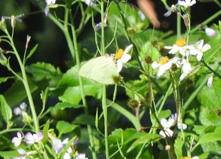 0213白い蝶ウスキシロチョウ?2393.jpg