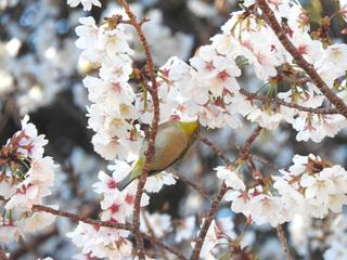 0220千尋の滝桜メジロ2611.jpg