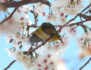 0220千尋の滝桜メジロ2617.jpg