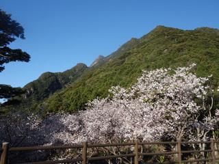 0221千尋の滝桜1633.jpg