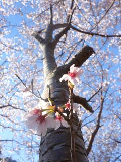 0221千尋の滝桜1635.jpg