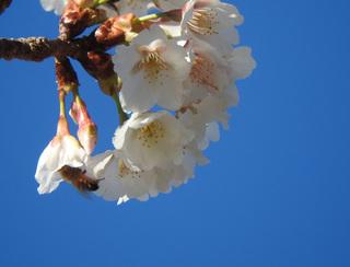 0221千尋の滝桜ミツバチ2606.jpg