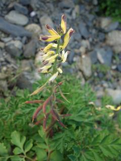 0223キケマン黄色い花06607.jpg