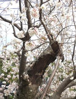0223枯れた枝桜2713.jpg