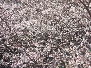 0224桜06560.jpg