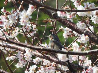 0224桜とヒヨドリ6154.jpg