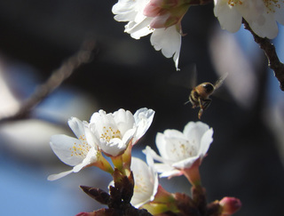 0224桜とミツバチ6158.jpg