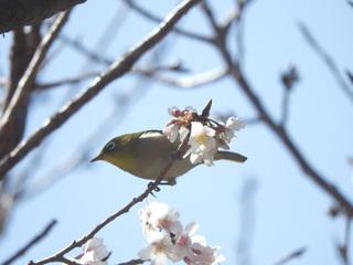 0224桜とメジロ6163.jpg