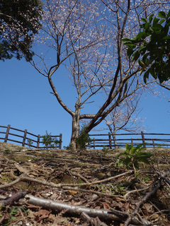 0224桜根っこ6577.jpg