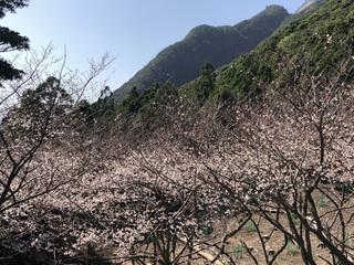 0224桜_8438.jpg