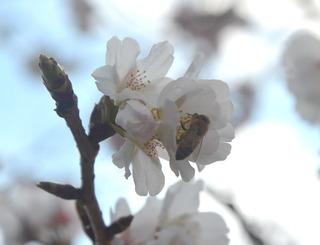 0226桜02.jpg