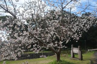 0226桜03.jpg