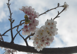 0226桜04.jpg