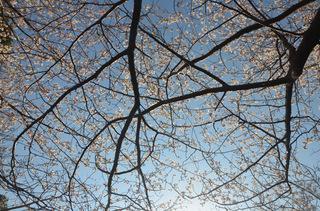 0226桜_0958.jpg