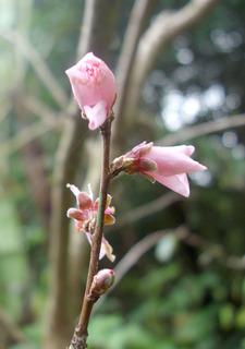 02桃の花1738.jpg