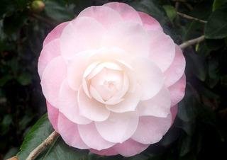 0306椿Nuccio's Pearl Camellia.jpg