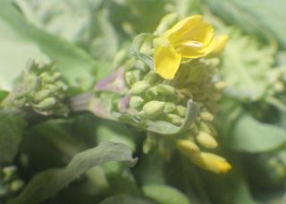 0306菜の花7164.jpg
