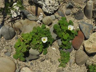 0317海辺の花フヨウカタバミ3996.jpg