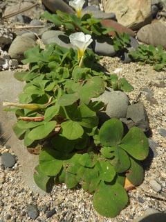 0317海辺の花フヨウカタバミ3997.jpg