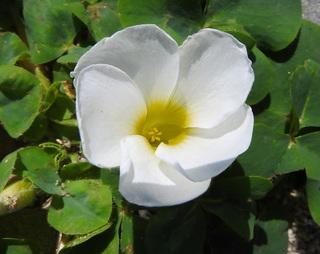 0317海辺の花フヨウカタバミ3999.jpg