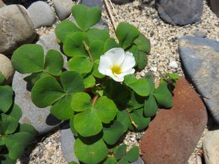0317海辺の花フヨウカタバミ4000.jpg