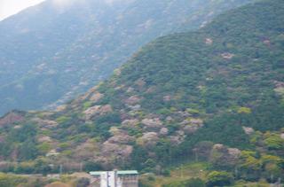 0322山桜.jpg