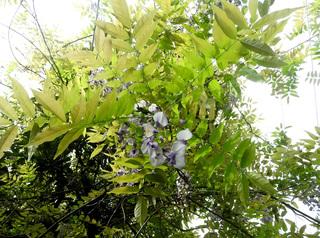 0412藤の花3641.jpg