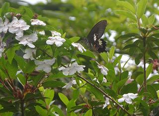 0427ニオイバンマツリと蝶.jpg