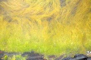 0523海の藻.jpg