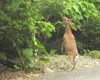 0530立つ鹿.jpg
