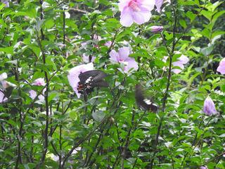 0624花とアゲハ蝶.jpg