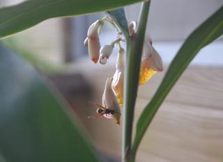0626月桃と蜂.jpg