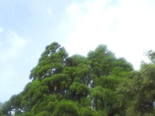 0627トトロの木雫6726.jpg